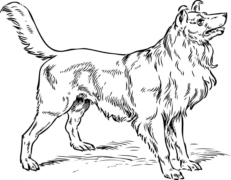 Perro de raza Collie. | ANIMALES | Pinterest | Collie, Dibujos de ...