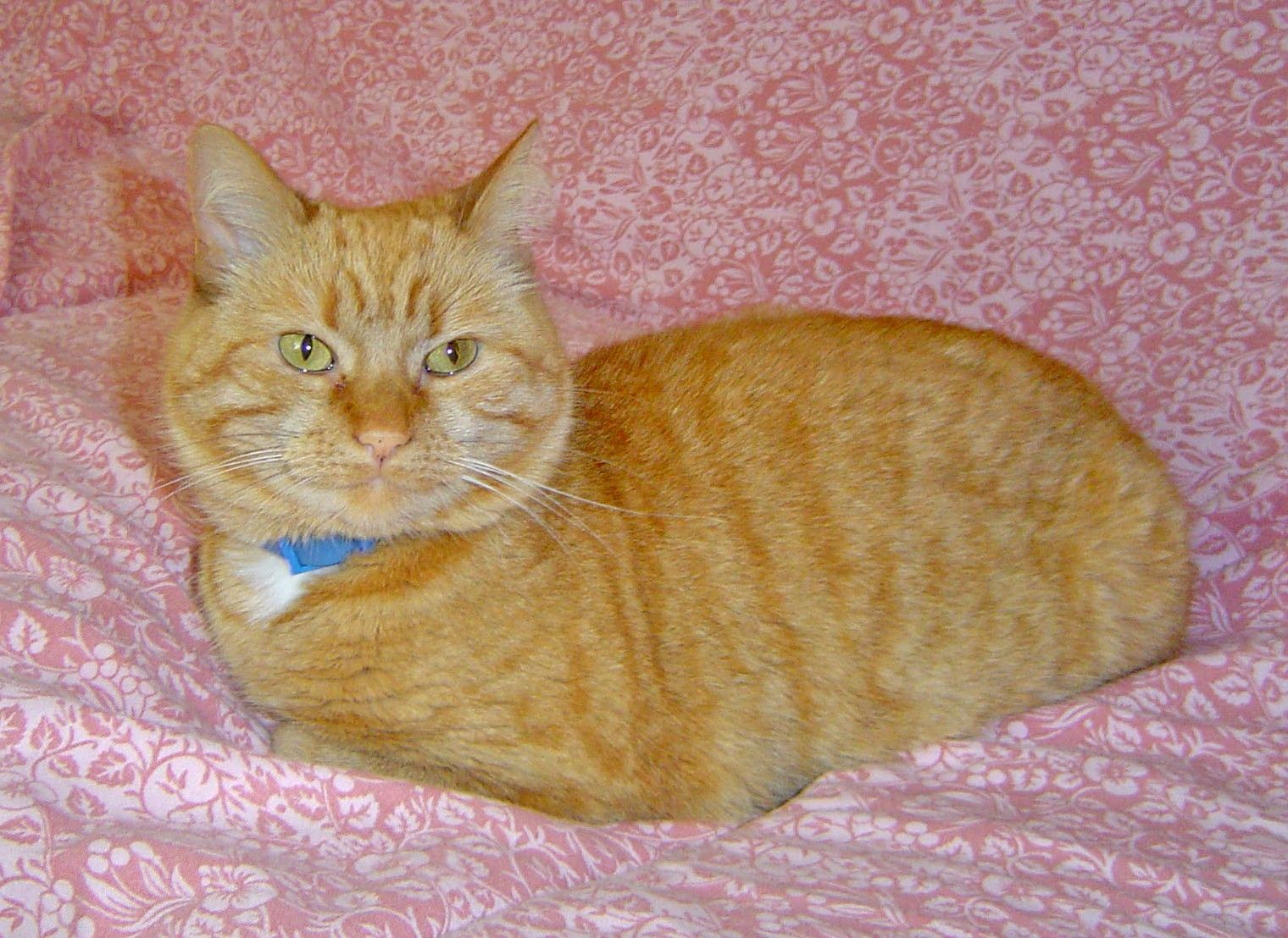 Bambi Female ginger tabby domestic shorthair Tabby