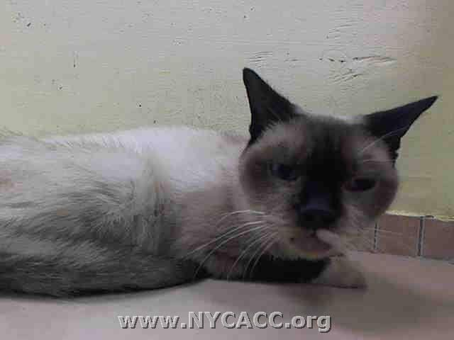 Adopted Rescued To Be Destroyed 9 17 14 Senior Alert Doris Was Very Quiet Inside The Kennel Does Not Approach Or See Siamese Cats Facts Cat Adoption Cats