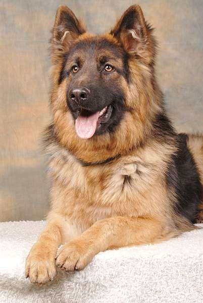 Duitse Herdershond | hond - Duitse herders, Duitse herdres ...