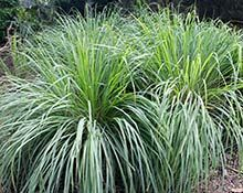 Lemon Grass Plant (Cymbopogon citratus) #mosquitoplants