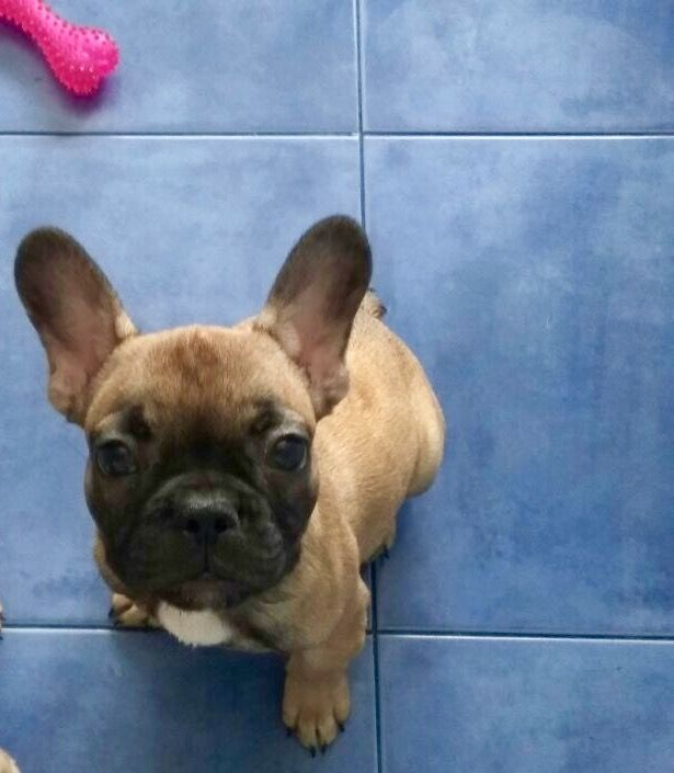 French Bulldog Puppy For Sale In Lake Worth Fl Adn 24515 On