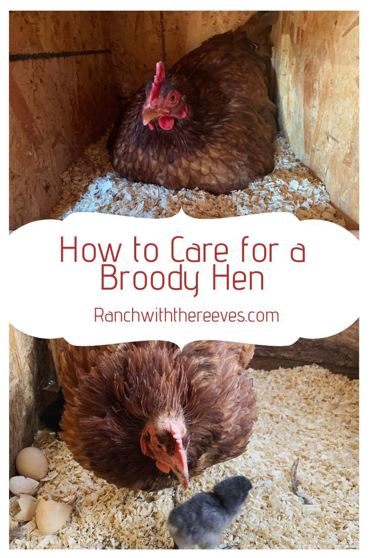 How to Care for a Broody Hen - Ranch With The Reeves in ...