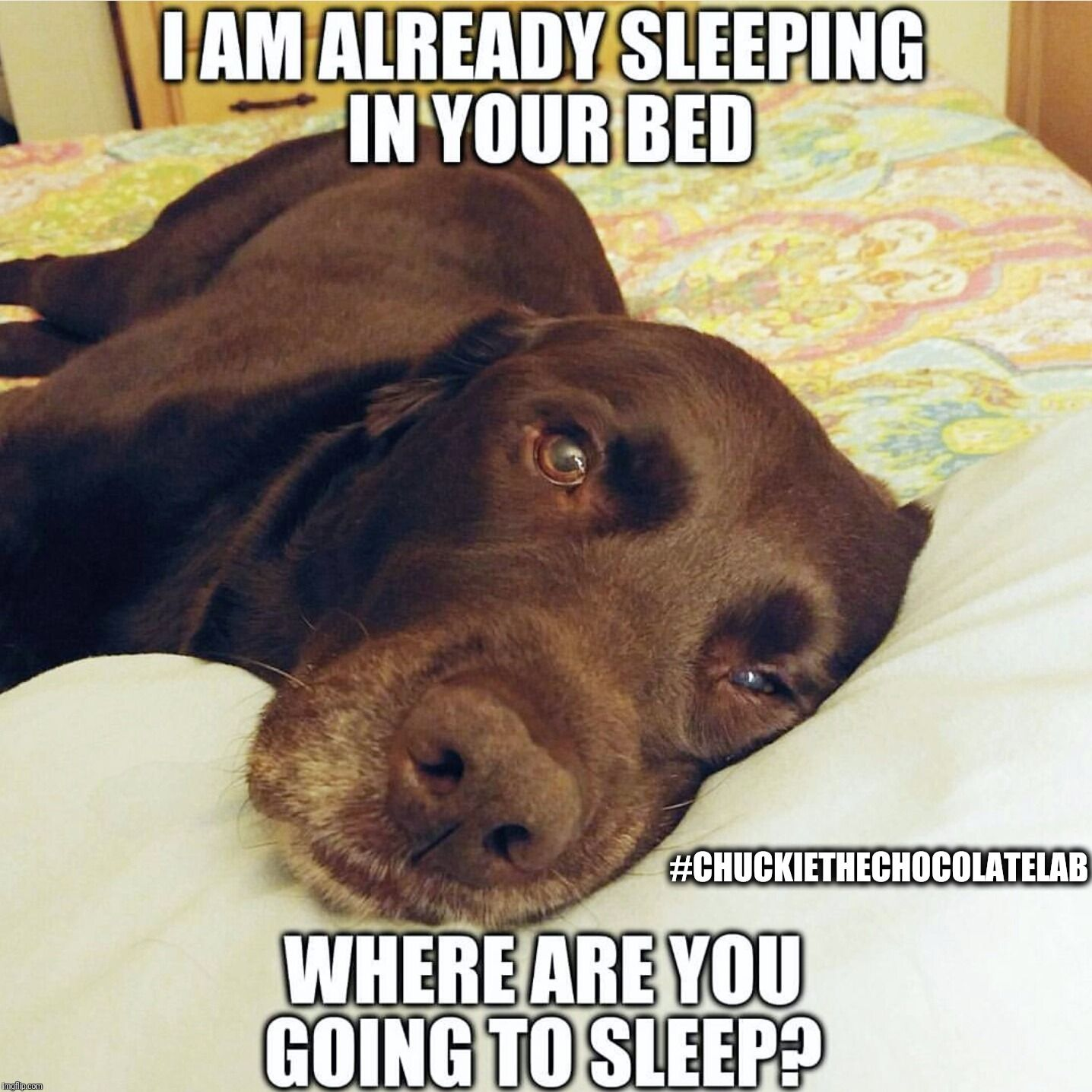 Where Are You Going To Sleep Funny Labs Lab Puppies