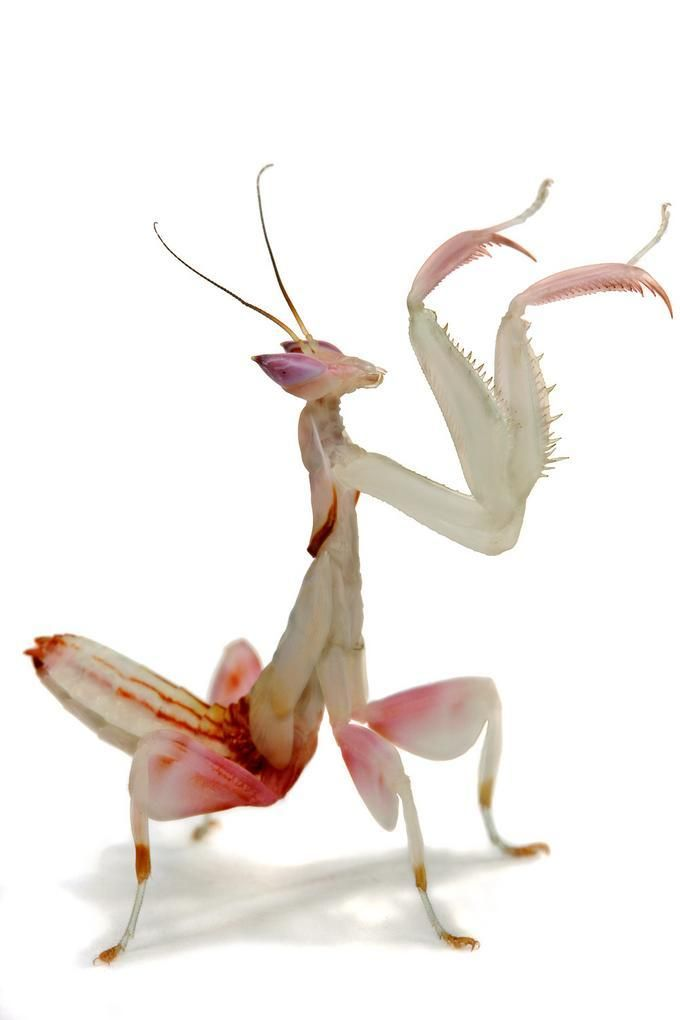 Praying Mantis Hymenopus Coronatus Orchid Mantis Praying Mantis Cool Insects