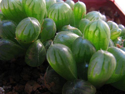 Succulent Plant Information: Haworthia cooperi