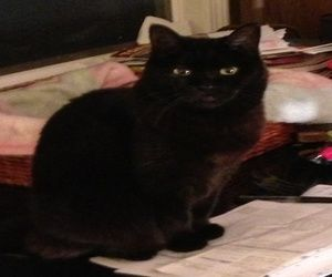 Benny is an adoptable Domestic Short Hair-Black Cat in Pelham, NH. Benny is approximately 8 yrs old. She was abandoned by his owners when they moved. They left behind 10 for himself and an empty apart...