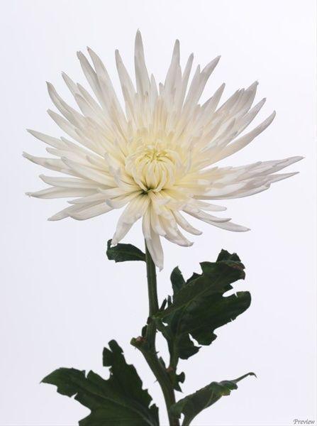 Anastasia White Disbuds Mums Chrysanthemum Flowers By Category Sierra Flower Finder Chrysanthemum Flowers White Flowers