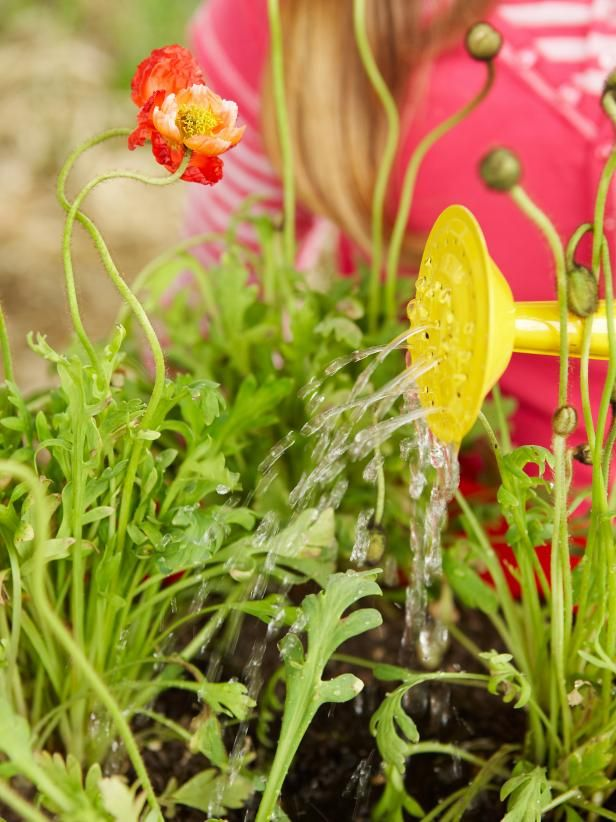 How to plant a poppy container garden