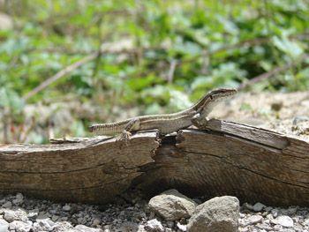 A venomous tale: Vipers shape lizards' tail-shedding abilities - insciences