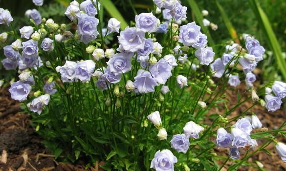 Plant profile campanula carpatica white clips, ( \' weisse clips) one ...