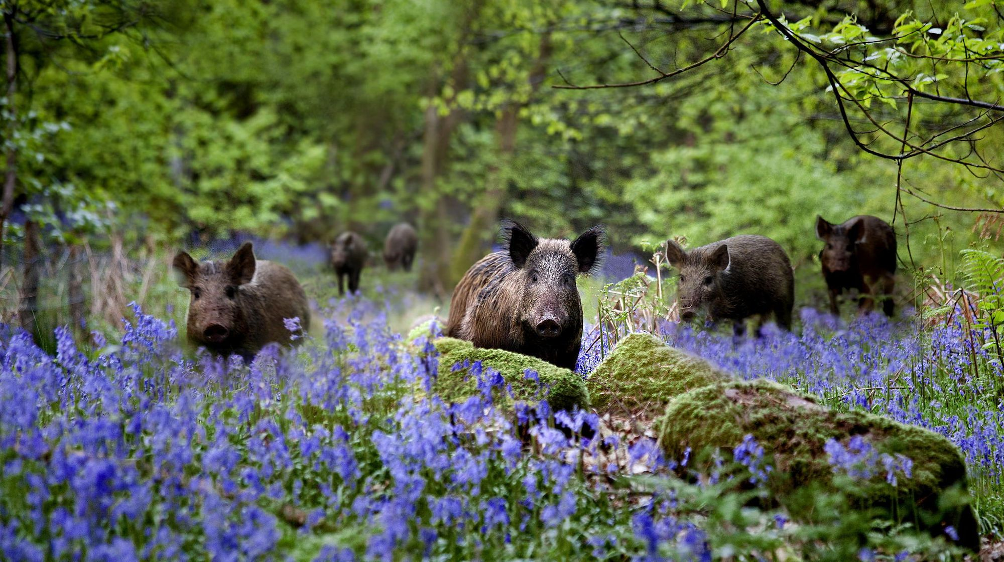 Boars And Bluebells | Bluebells, Boar, Mini pig