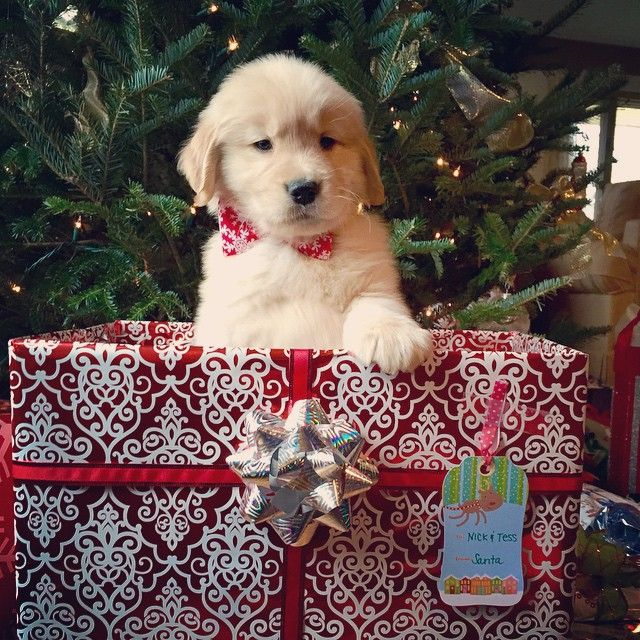 Golden Christmas Christmas Puppy Dog Christmas Pictures