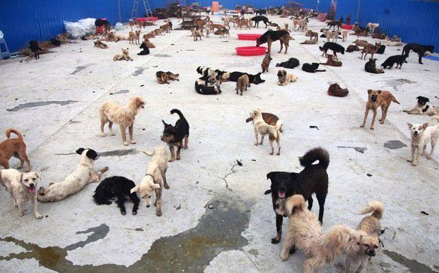 """中国:""""犬食文化""""からワンちゃん守れ、愛護団体の厳しい現実 動物救援隊 外交官 ももこひめ Momoko-Hime's Blog"""