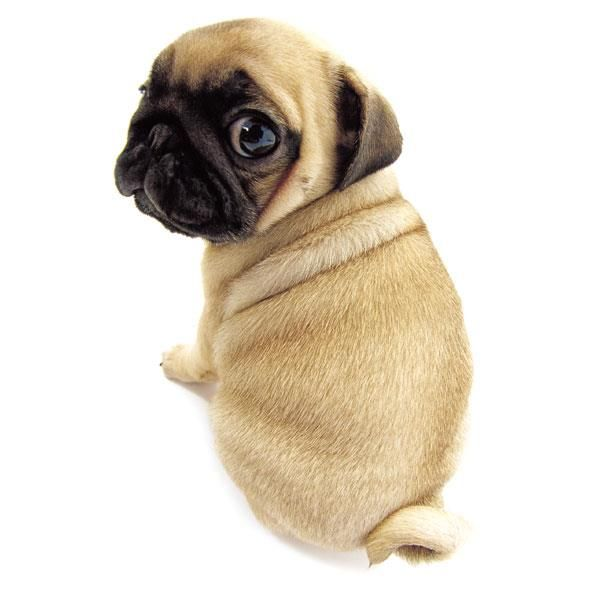 Artlist Collection The Dog Pug Pugs Have Curly Tails