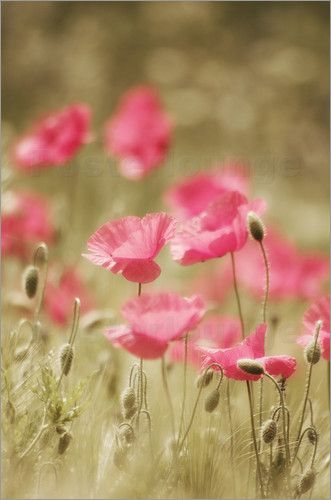 Rosa Mohn Art Blumen Pflanzen Rosa Mohnblumen Mohnblume