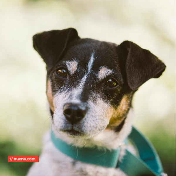 Meet Eddie He S A Very Special Jack Russell Terrier Mix Adopt Him In The Sf Bay Area Through Maddie S Fund With Images Pet Adoption Pets Adoption