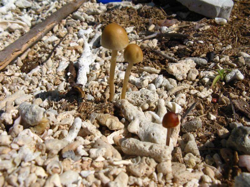 Shroomery - Panaeolus cambodginiensis | psilocybe List & lookalikes