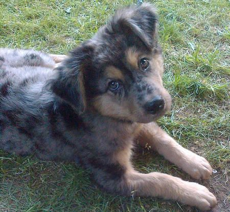 Via The Daily Puppy Breed Australian Shepherd Arthur Is Fearless Smart And