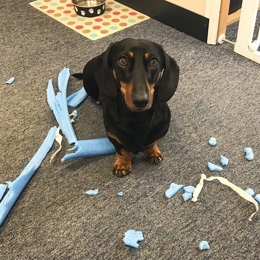 Guilty Dachshunds Guilty Dogs Guilty Petsausage Dog Dachshund Love