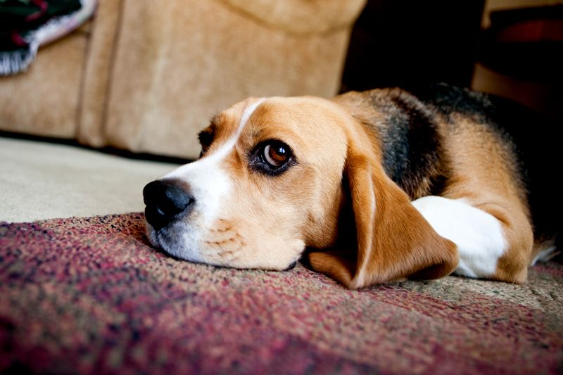 Beagles Might Exhibit A Behaviour Recognized As Reverse Sneezing