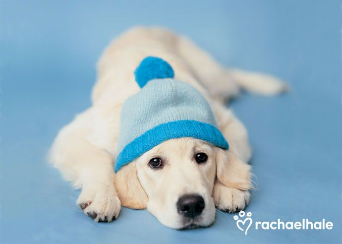 Mr Darcy (Golden Retriever) – Daily Pet Calendar for January 21, 2014 – Rachael Hale ® The world's most lovable animals