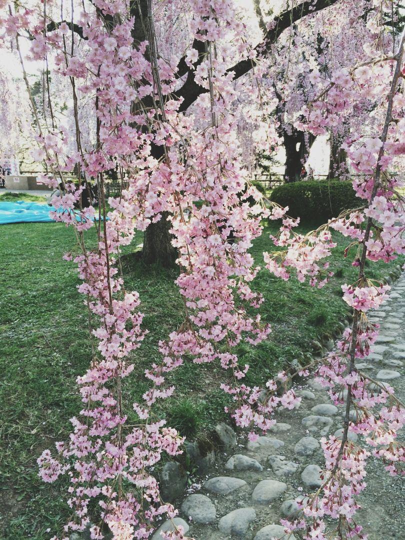 Cherry Blossoms Viewing Hanami At The Hirosaki Castle In Aomori Japan Her Brave Soul Hanami Hirosaki Weeping Cherry Tree