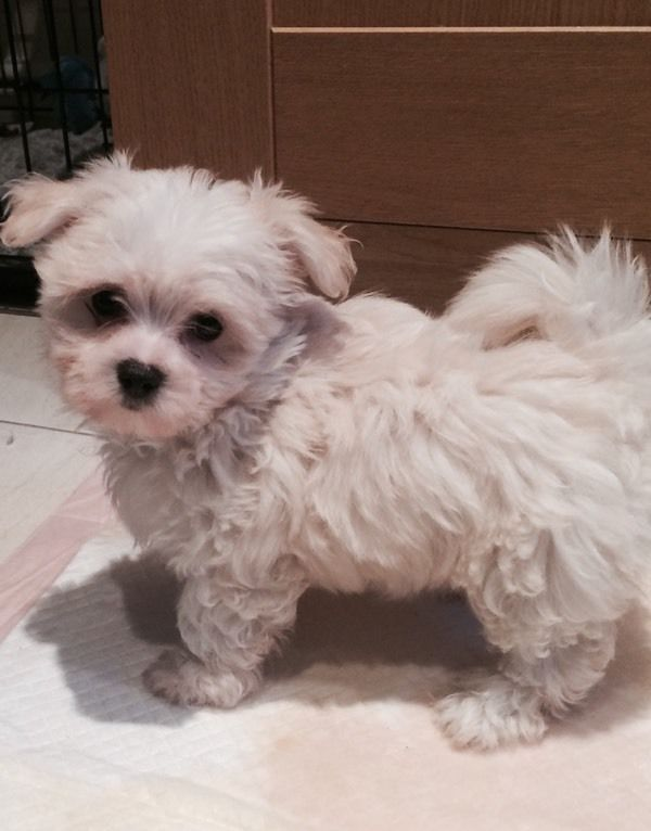 Maltese Teacup Girl Puppy Derby Gumtree Puppies Dogs Maltese