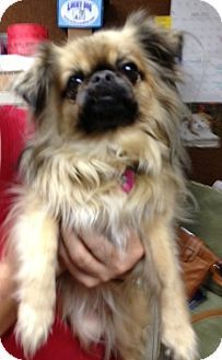 Colorado Springs Co Pekingese Pomeranian Mix Meet Zena A Dog For Adoption Dog Adoption Pekingese Pet Adoption