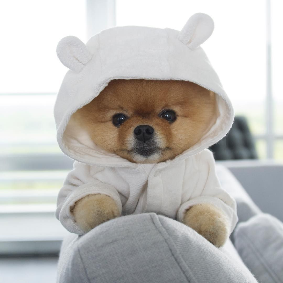 See This Instagram Photo By Jiffpom K Likes Inspiration - Jiff the pomeranian is easily the best dressed model on instagram