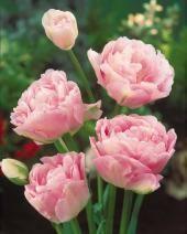 10 Tulipes à fleurs de pivoine 'Angélique' - Bulbes Gros Calibre