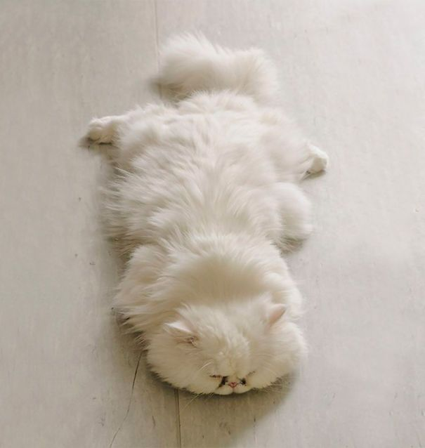 Of The Fluffiest Cats In The World Cat Fluffy Cat And Animal - 25 of the fluffiest cats ever