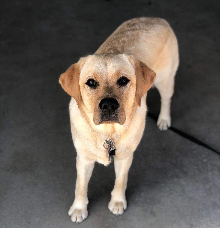 best 3D Labrador stikers for 0.99 Labrador, Labrador