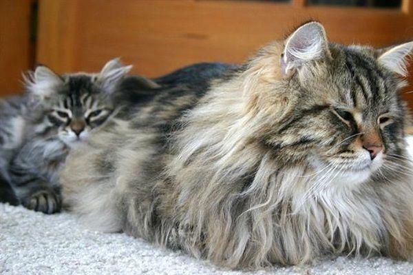 Longed Haired Cat From Lion Family Http Ift Tt 2fjwll6 Siberian Cat Cat Breeds Siberian Forest Cat
