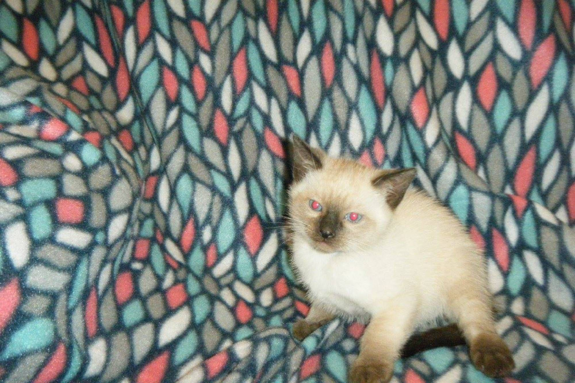 Siamese Kittens For Sale In Pa Are The Reasons For You To Purchase
