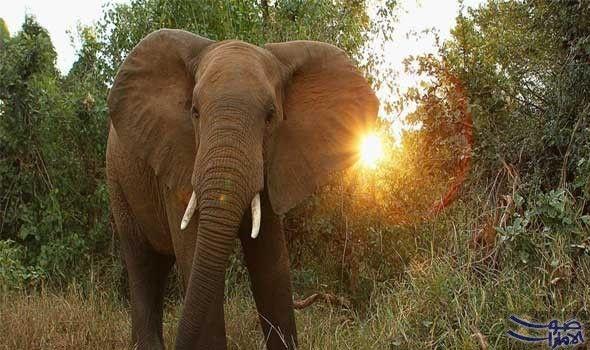 الصي اد الشهير ثيونيس بوثا ي قتل سحق ا تحت جثة فيل ق تل الصي اد الجنوب أفريقي الشهير ثيونيس بوثا سحقا تحت جثة فيل Male Elephant African Elephant Animals