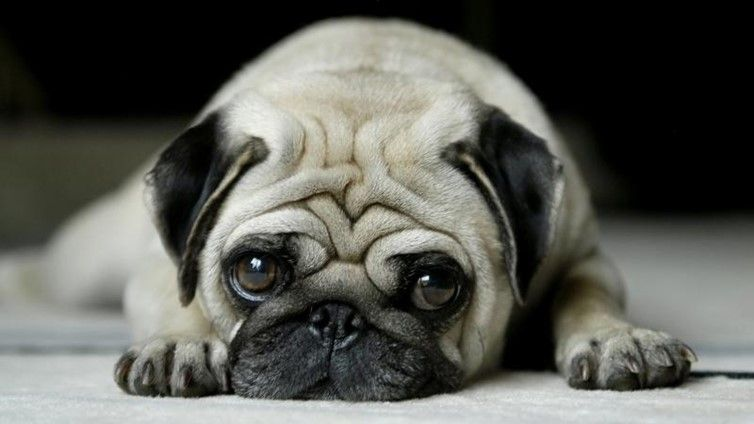 Pug Eye Problems Common Issues And Treatments Cute Pugs Pugs