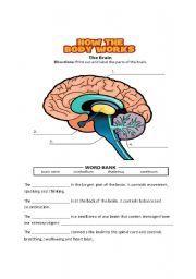 Printables Brain Worksheet english teaching worksheets nervous system life skills pinterest the brain and teaching