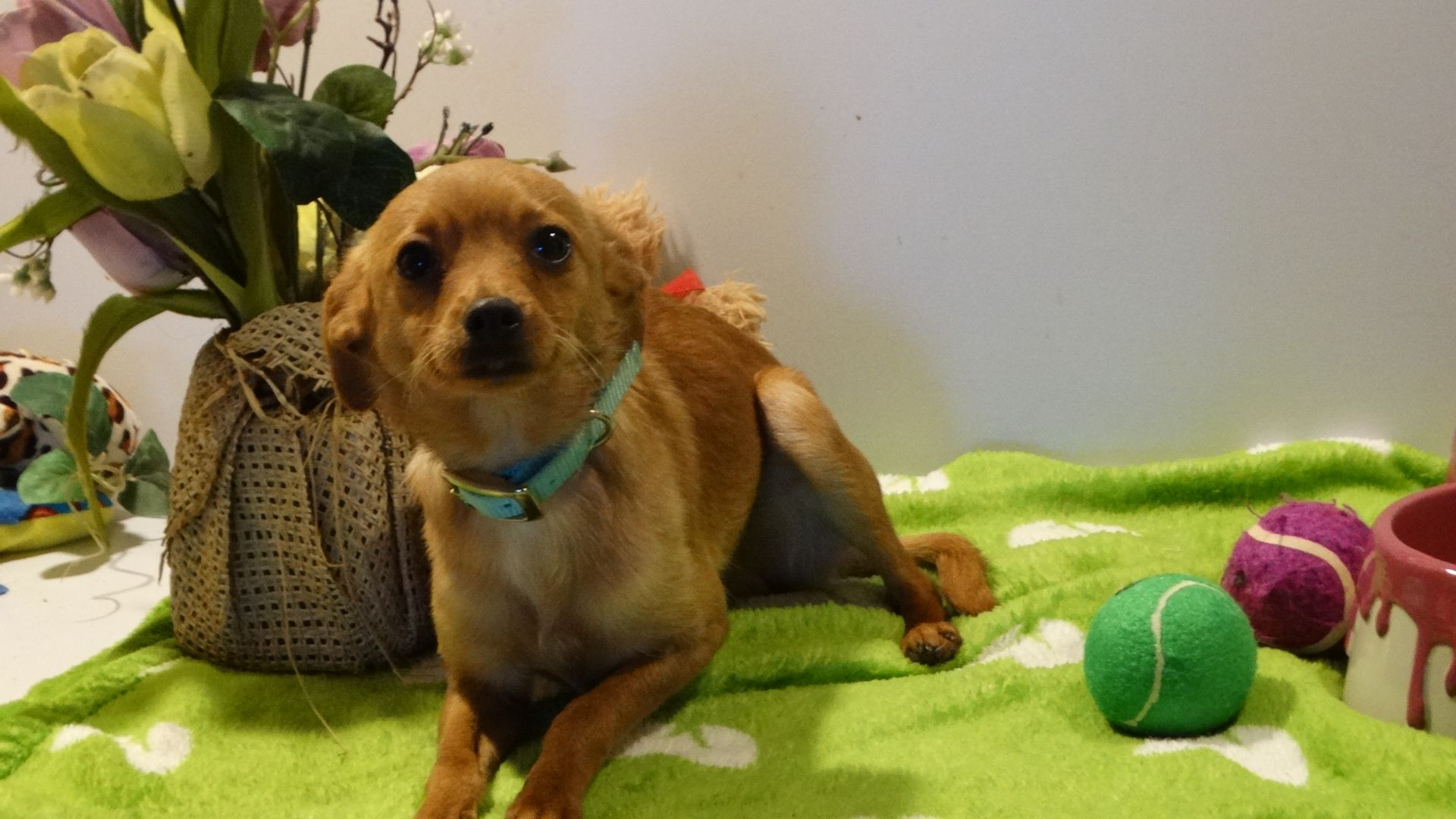 Doxie Pin Dog For Adoption In Vacaville Ca Adn 468729 On