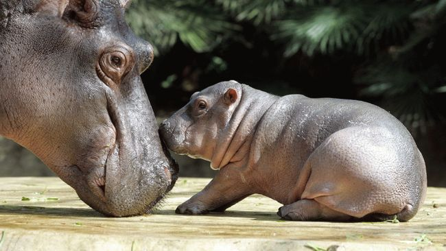 Hippopotamus baby Gregor, right, is caressed by his mother Nicole on Aug. 15, 2005, at the zoo in Berlin. (Marcus Brandt/AFP/Getty Images)