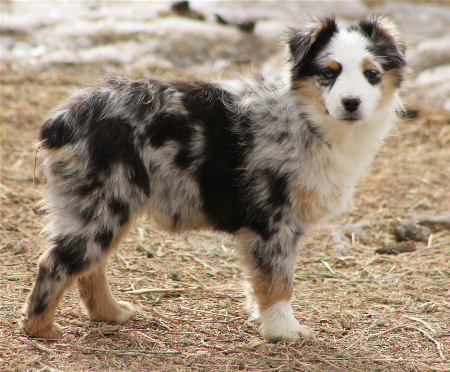 Mini Aussie Puppies for Sale (With images) Aussie