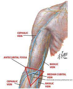 image result for cephalic vein science pinterest medicine and