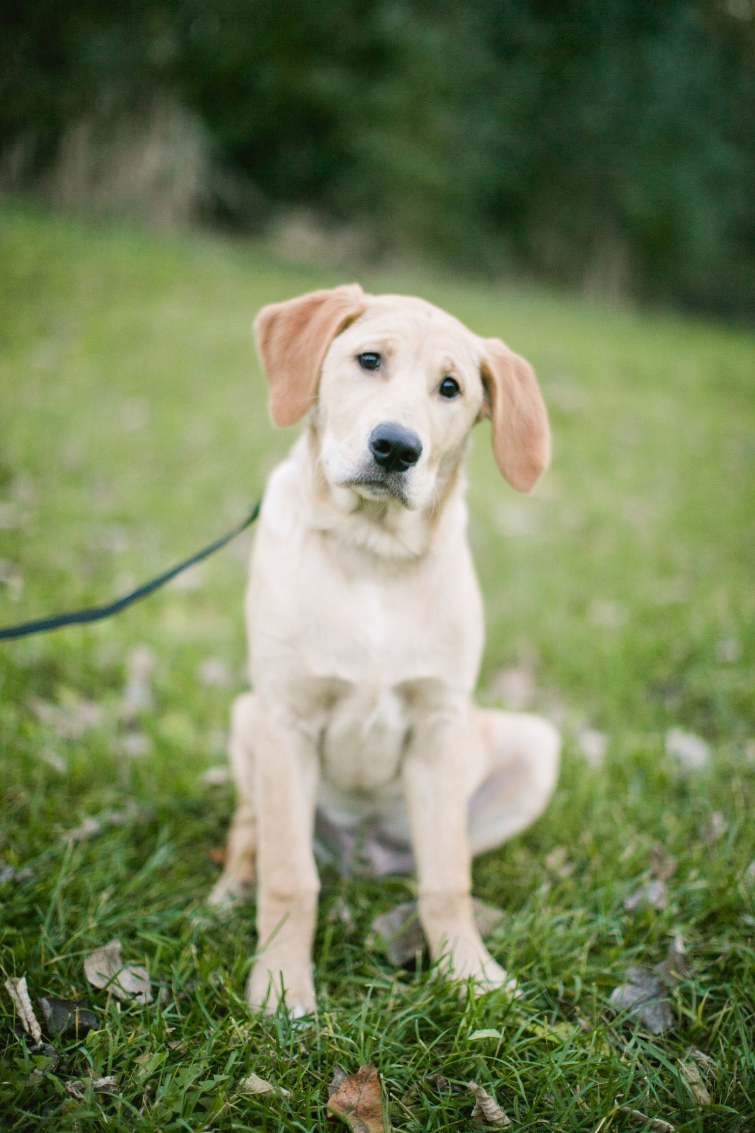 Goldador Dogs, Animals, Beautiful dogs