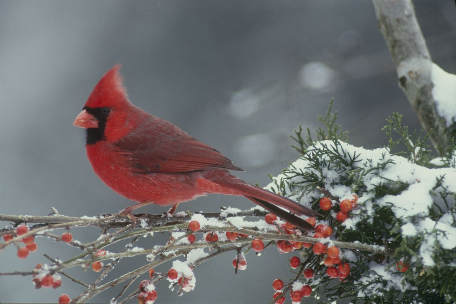 Red birds in snow november 2010 mother daughter press - Winter cardinal background ...