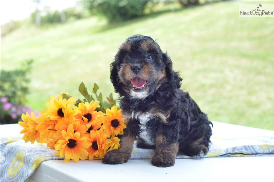 Cavapoo Puppy For Sale Near Cleveland Ohio C2d2448e F6e1 Cavapoo Cavapoo Puppies For Sale Cavapoo Puppies