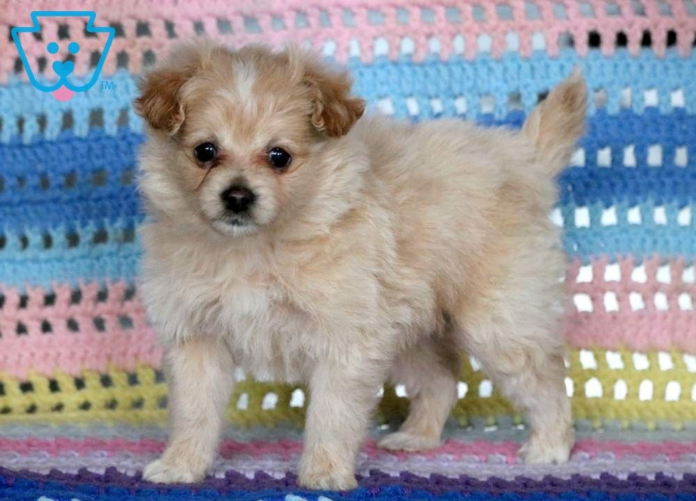 Annie Pomapoo Puppy For Sale Keystone Puppies Puppies