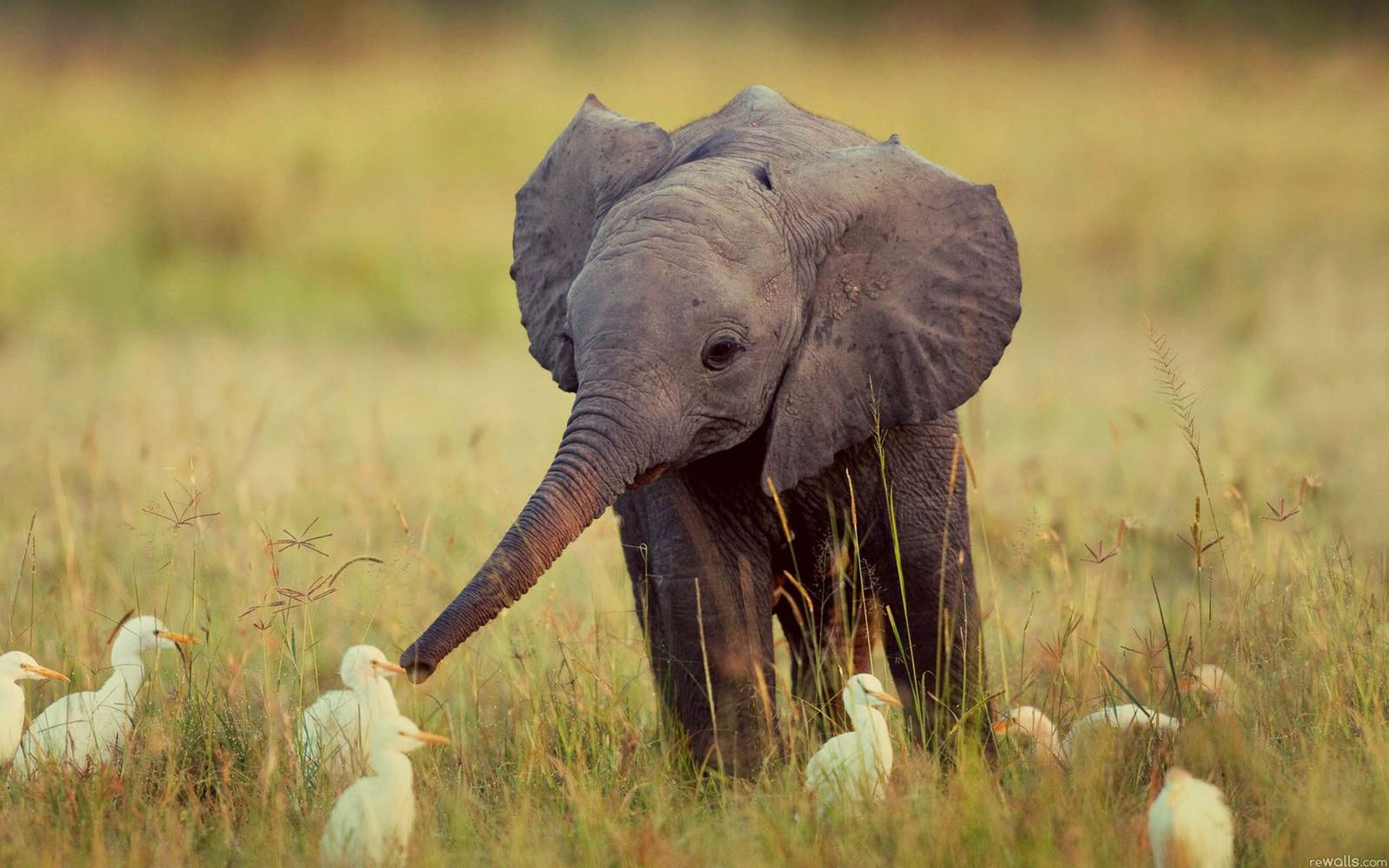 Baby Elephant Is Playing With Little Birds Elephants Playing Cute Animals Animals Friends