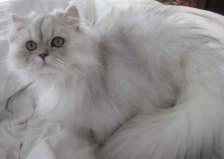 Sophia Shaded Silver Persian Kitten Treasured Kittens Persian Kittens Persian Cat Persian Cat Doll Face