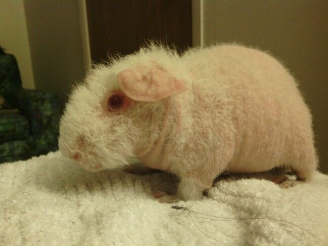 My Semi Hairless Guinea PigPeaches Hairless Critters Are - Ludwig the bald guinea pig is winning the internets hearts