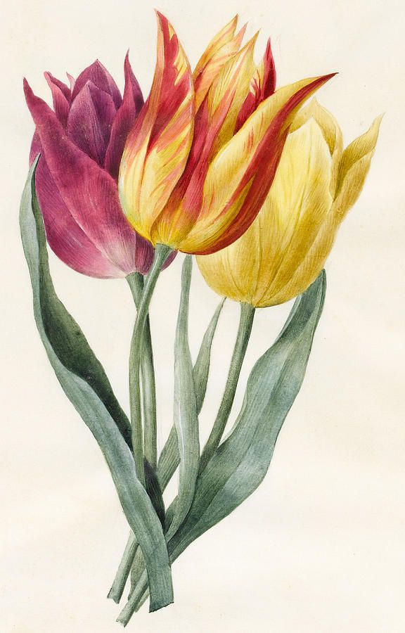 Three Lily Tulips By Louise D Orleans Tulips Art Lilies Drawing Tulip Drawing